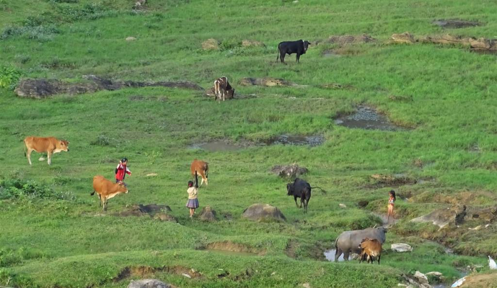 Cows and their young shepherdesses scattered over the green grass and along a mountain stream in Moc Chau