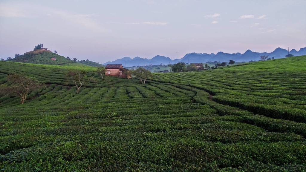 Regular lines of planted tea buses, occasional small trees, hillocks and the karst mountains of north Vietnam in the background