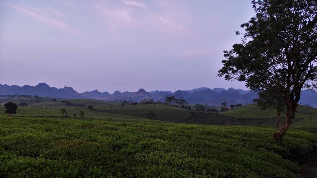 Rolling hills  of Moc Chau covered with tea shrubs, occasional small trees and a panoramic view of the sharp- ended peaks of the mountain range in the distance
