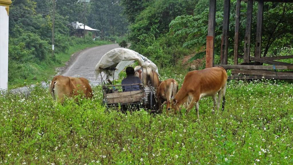 A small cow-drawn cart with a coachman, standing in tall grass by the roadside outside Muang Sing in Laos.