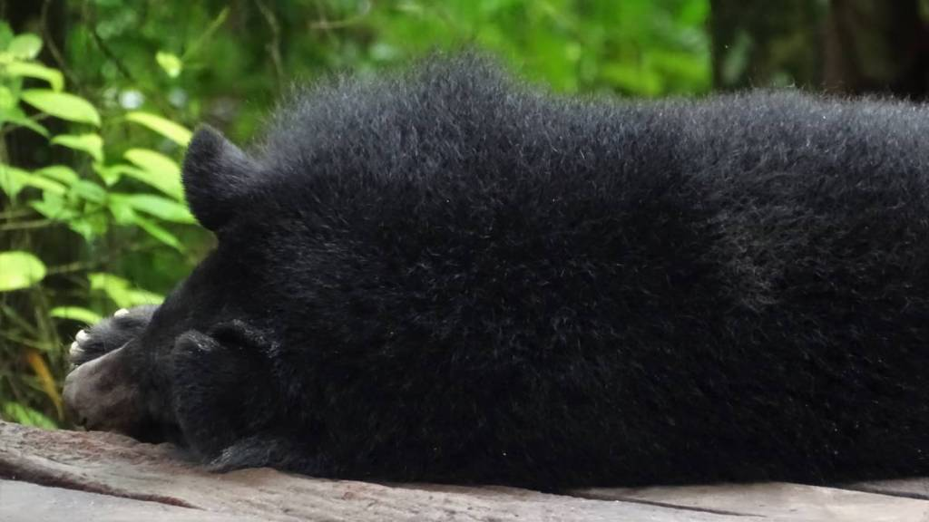 The ears, snout and a paw of a Asiatic Black Bear, sleeping on a wooden plaftorm