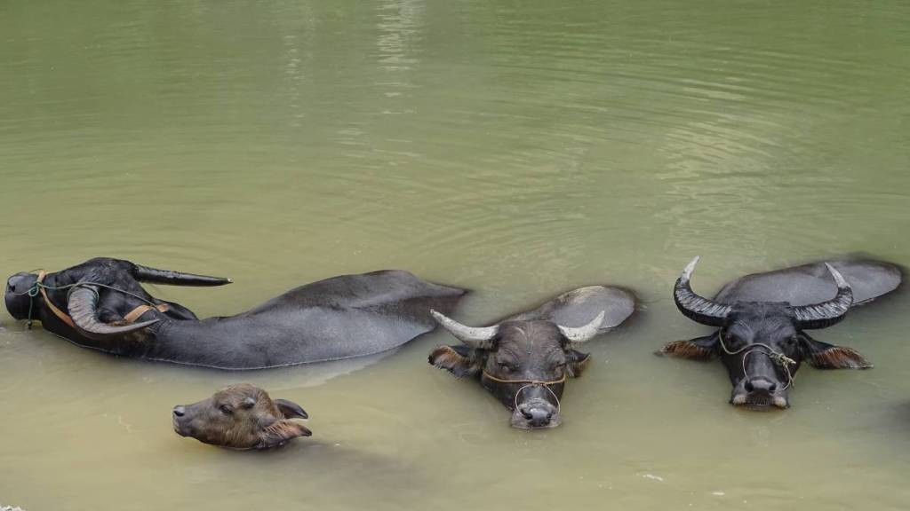 A few water buffaloes, including a baby one, immersed in water with only their heads and