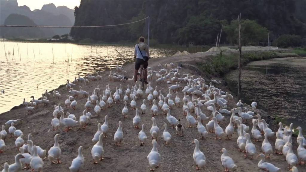The author riding a bicycle among a flock of domestic ducks on a ditke between two ponds in Tam Coc