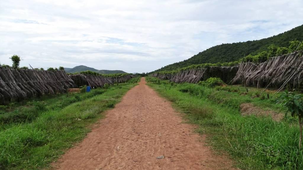 A dirt road leading through a pepper plantation near Kampot