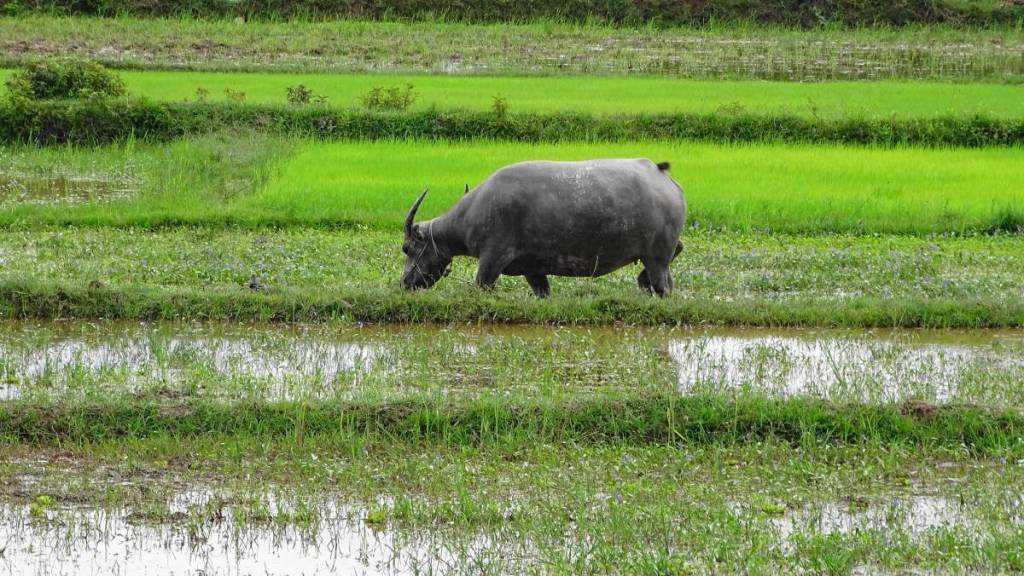 A water buffalo grazing in the flooded paddy field in Cambodia