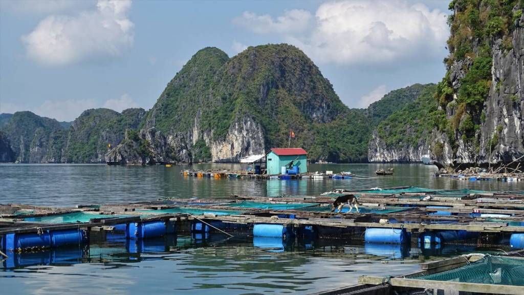 Floating fish farms set among karst landscape of Ha Long Bay, guarded by dogs walking on narrow wooden planks.