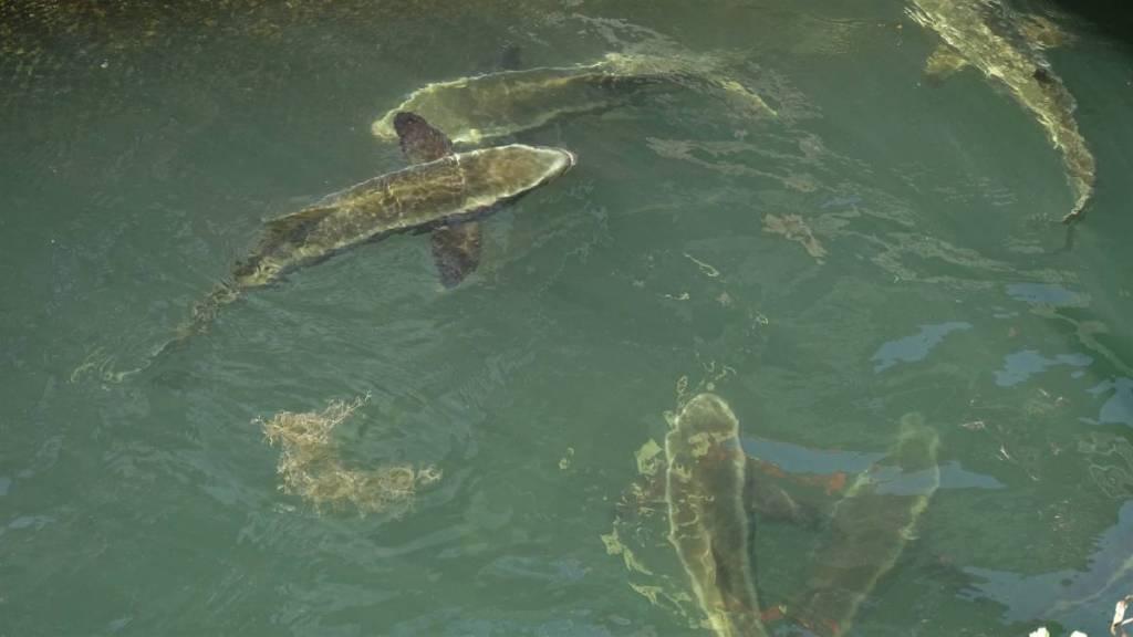 Shark-resembling fish farmed at the floating farms in Ha Long Bay