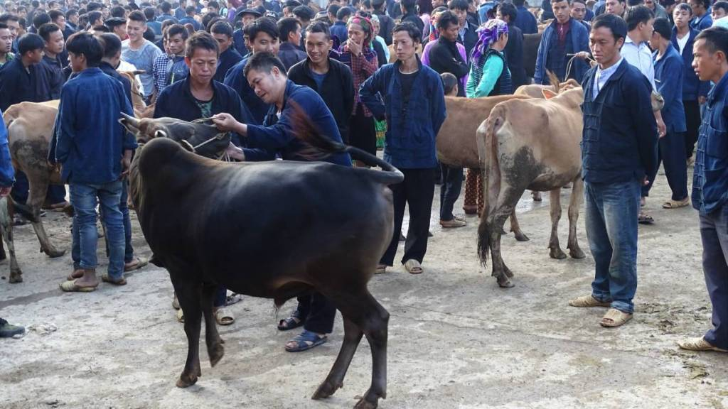 A crowd of uniformly dressed in navy blue men examine cows for sale on Meo Vac market