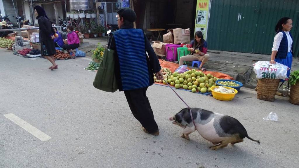 A man in a blue jacket and black hat pulls a squeeking pig on a string through the streets of Meo Vac, along  the stalls with vegetables