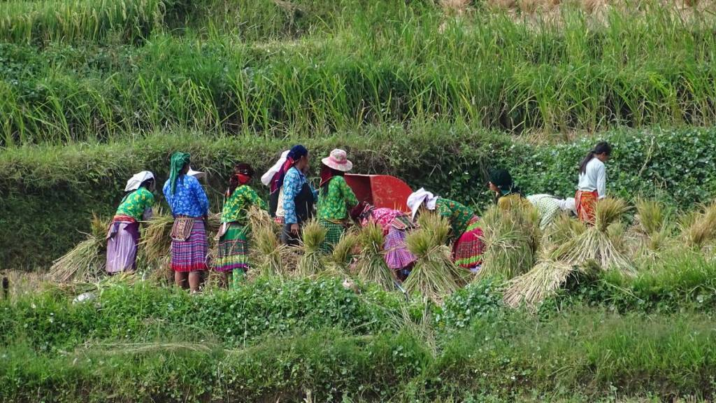 Women wearing colourful tops, skirts and headscarves tie into bunches harvested rice