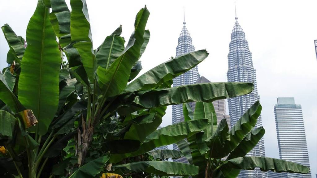 Petronas Towers seen through the banana trees growing in Kampong Bahru district of Kuala Lumpur