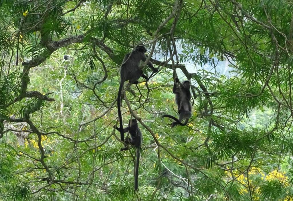 Mother silverleaf monkey and its two children hanging from the branches of a tree at Kuala Selangor Nature Park