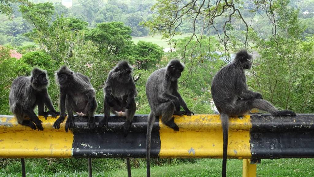Large, long-tailed and bearded silverleaf monkeys sitting in a row on a roadside barrier at Malawati Hill in Kuala Selangor