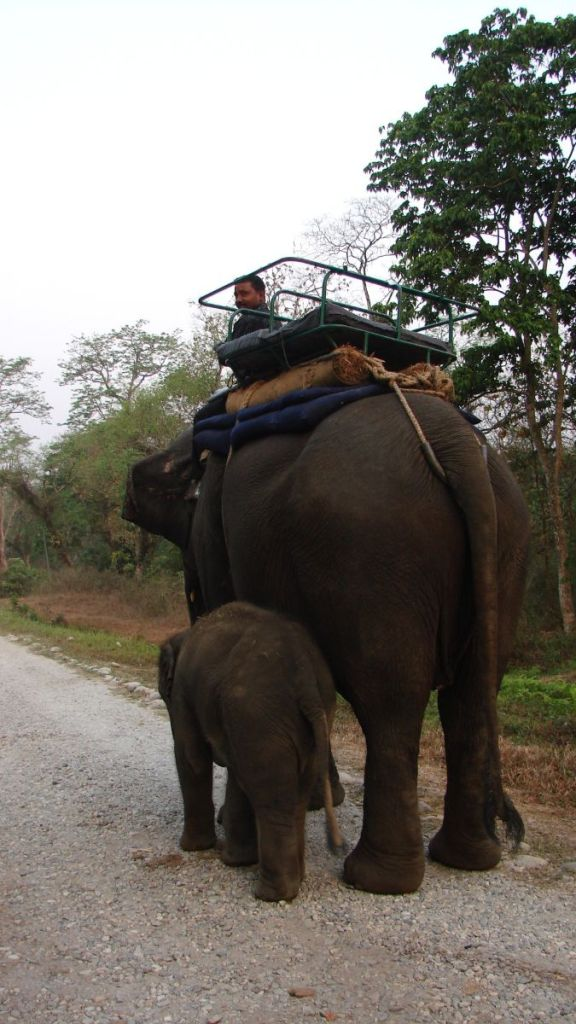Elephant used for safaris with his mahout on top and with its baby on the side at Jaldapara National Park in West Bengal