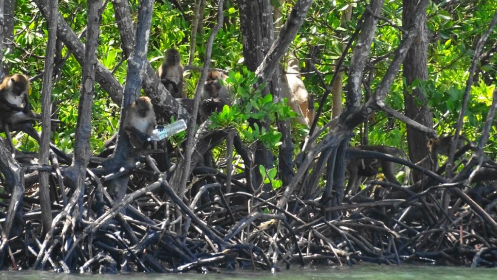 Crab eating macaques in a mangrove forest in koh lanta seen from the kayak