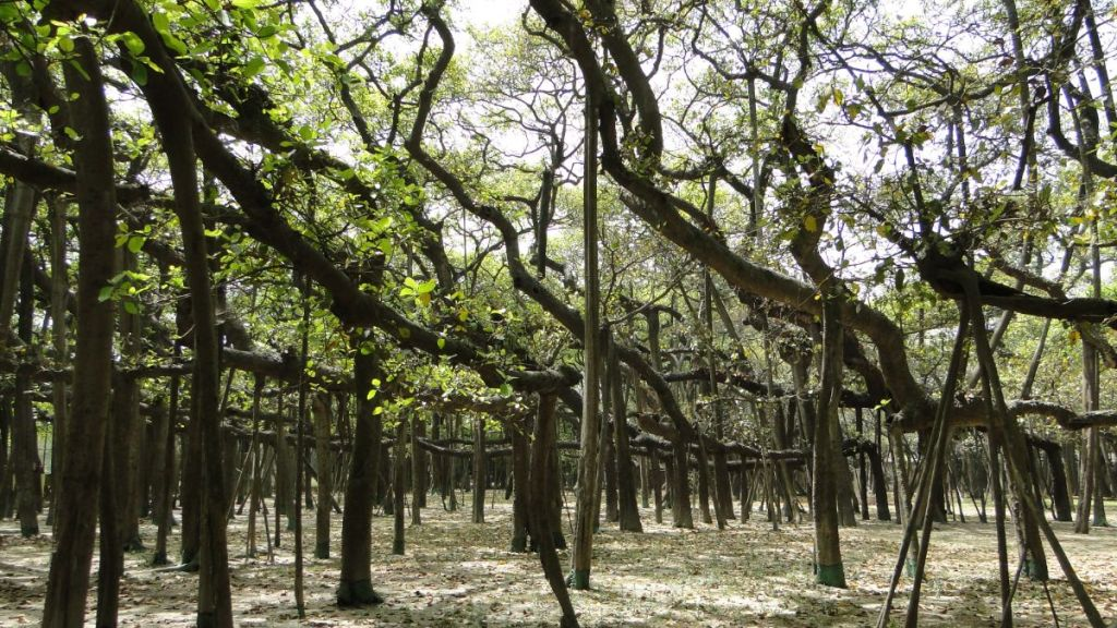 A 'forest' of multiple trunks of the Great Banyan tree at Calcutta Botanic Garden