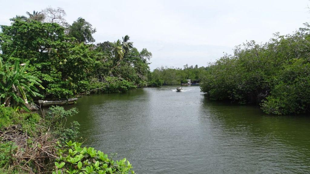 Green-water Madu Ganga river, fringed with lush mangrove greenery