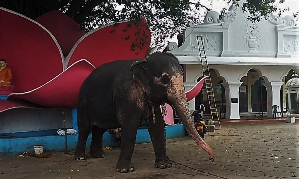 An elephant in chains standing on the concrete floor in front of a Kande Vihara temple near Aluthgama, Sri Lanka