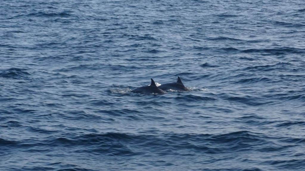 Two spinner dolpins explosing their dorsal fins over the water