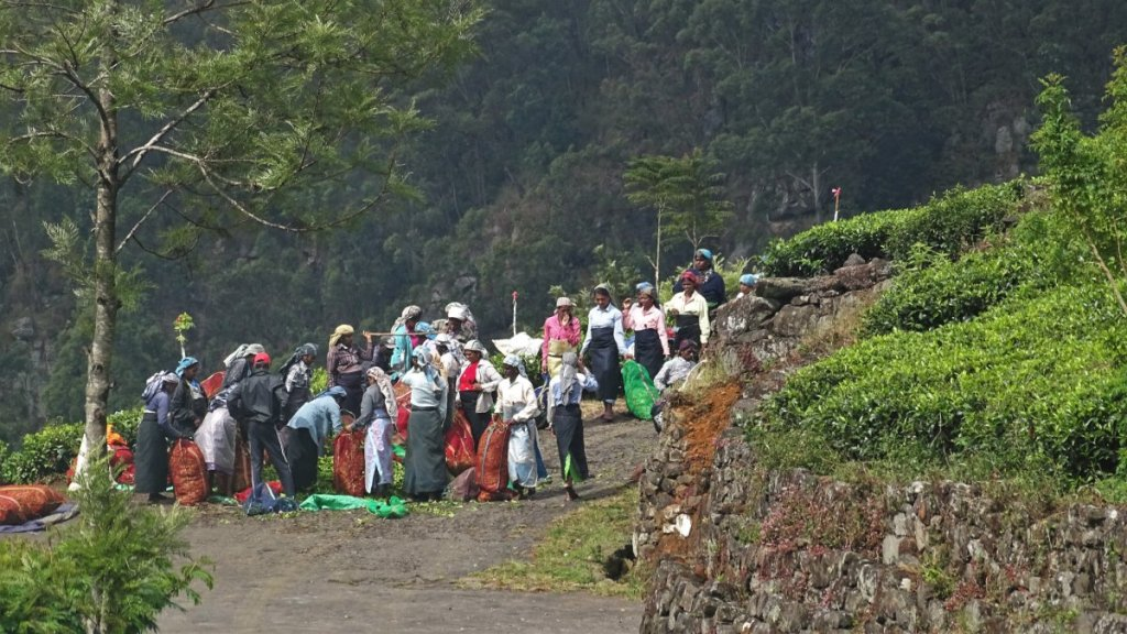A group of female Tamil tea-pickers load the sacks with tea leafs on the road to Litpon's Seat
