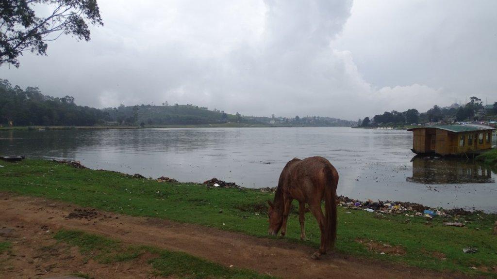 A horse grazing amid garbage  at the banks of Lake Gregory in Nuwara Eliya