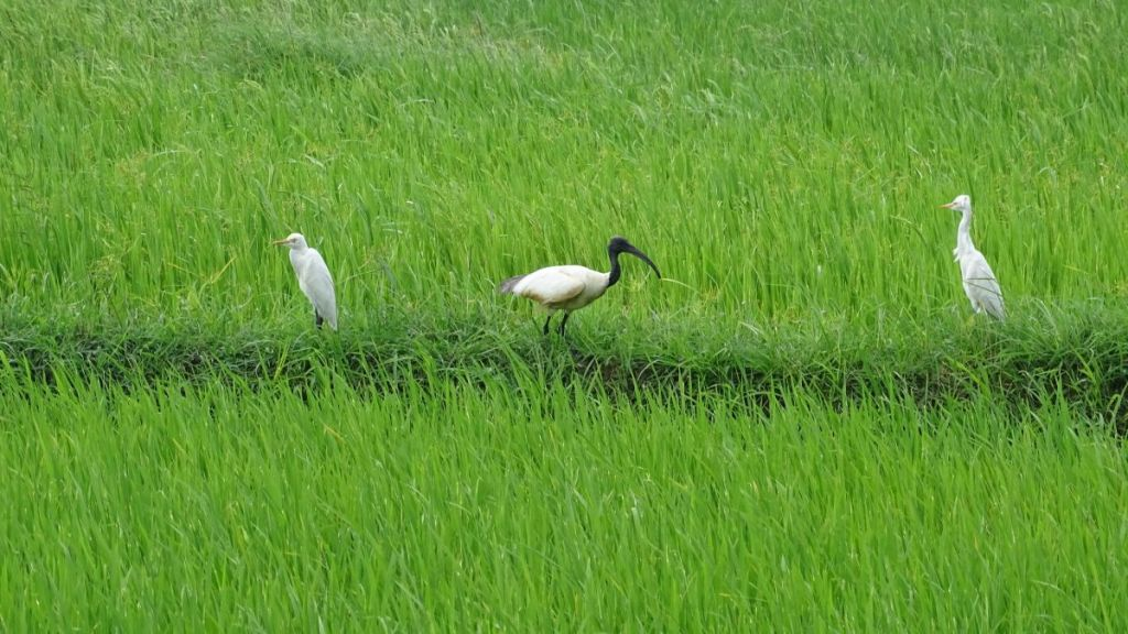 Two white egrets and a black-headed ibis contrasting with a verdant green paddy field in Polonnaruwa