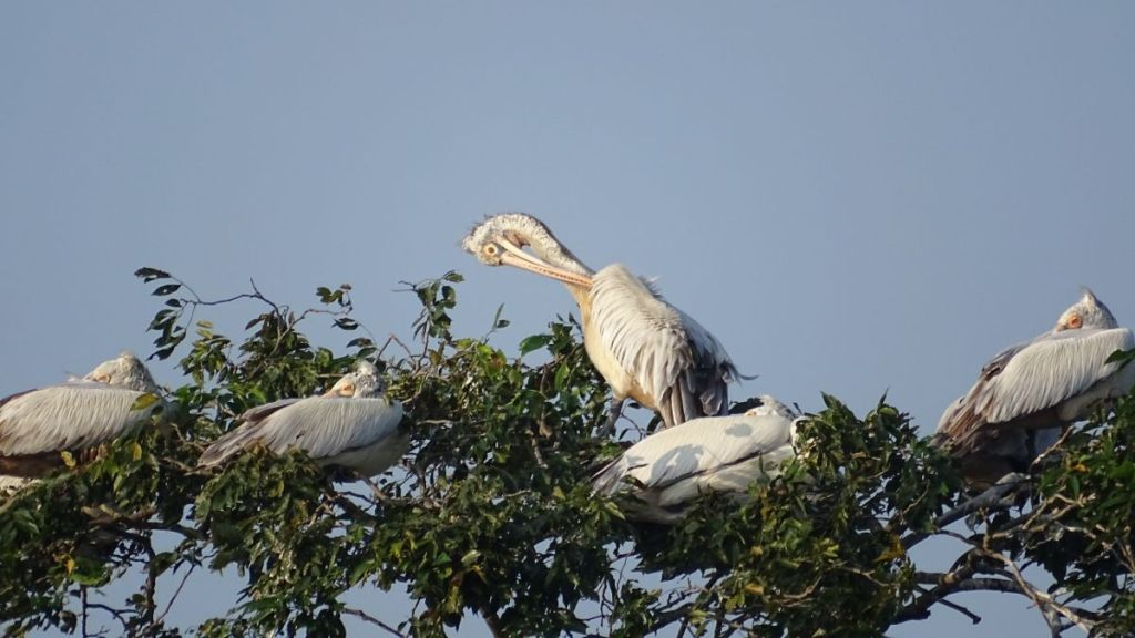 One pelican cleans his feathers while the others hide their heads under the wings at Parakrama reservoir in Polonnaruwa