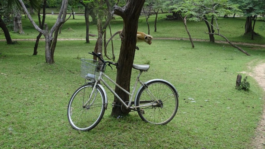 A monkey sits on a tree just above a rented bicycle at Polonnaruwa ancient city