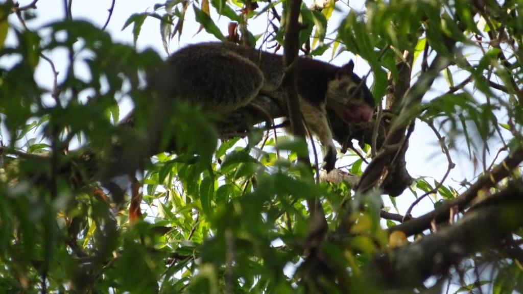 A giant squirrel lies on the branch among the greenery in Sri Lanka