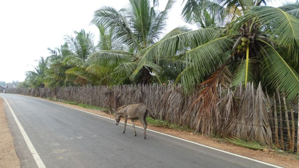 A donkey walking alone on an empty tarmac along a palm-leaf fence in Kalpitiya, Sri Lanka