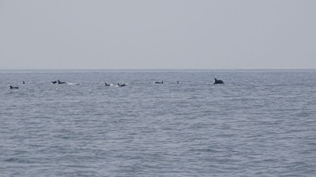 A small pod of dolphins seen in the distance in Kalpitiya