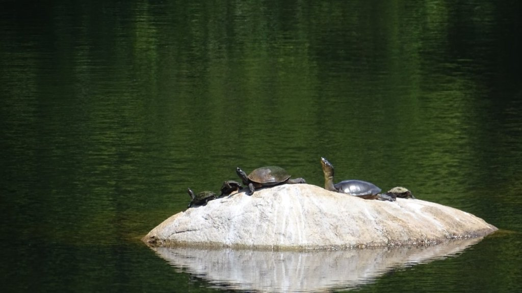 A ground of freshwater black turtles lift their heads as they seat on a small rock in the middle of a pond in Mihintale